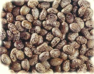 Ethiopian Castor Seed